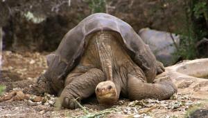 Lonesome_George_-Pinta_giant_tortoise_-Santa_Cruz