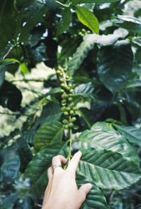 coffee plants on the mountain