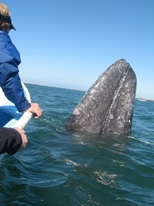 Grey whale migration on the Pacific Coast
