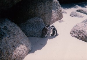 African penguins,Penguins in South Africa,where are African penguins found,do penguins mate for life,penguins in Africa