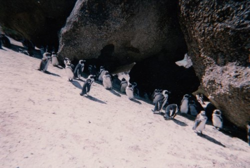 African penguins,Penguins in South Africa,where are African penguins found,penguins in Africa