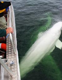 Adventure Beluga Whale-Watching