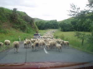 Sheep block on the road - Amy Huang